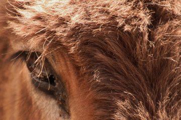 Wijnvaten vervangen ezels op Spaans feest