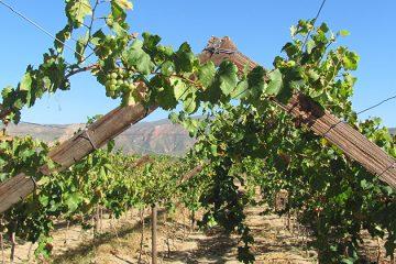 Zware klap voor wijnbouwers Swartland