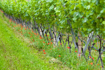 Eén miljoen wijnstokken erbij
