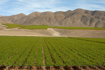 Chili oogst minder
