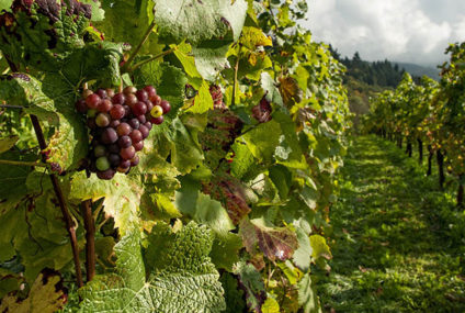 Fransen verwachten 17% minder wijn