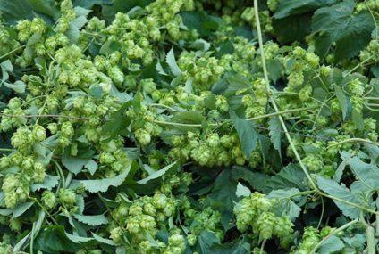 Prima hop-oogst verwacht
