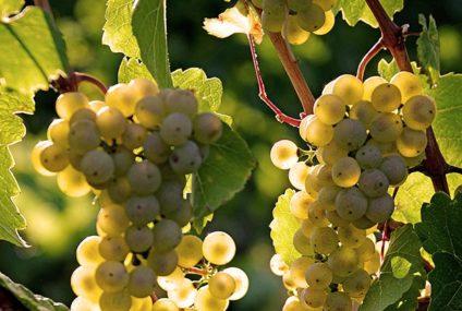 Goed wijnjaar voor Oostenrijk
