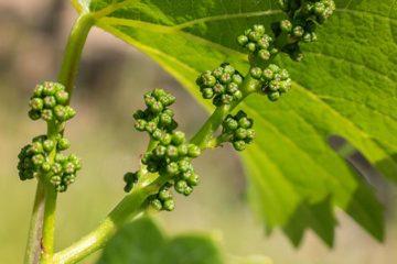 Nieuwe generatie wijnmakers staat te trappelen