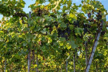 Franse wijnboer ligt wakker van meeldauw