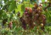 Franse overheid maakt extra geld vrij voor wijnsector